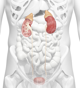 Anatomy of the kidneys, ureters and bladder